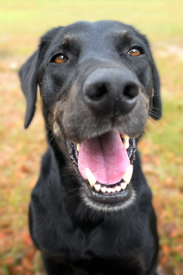 Petplan Pet Insurance for black dog from lancaster insurance agency